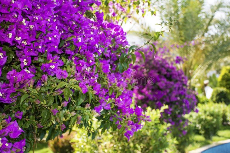 美丽的紫罗兰色九重葛回归线花 库存图片