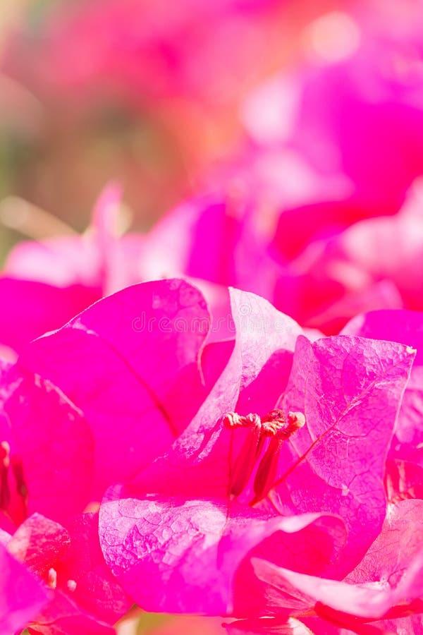 美丽的紫罗兰色九重葛花有迷离背景 免版税图库摄影