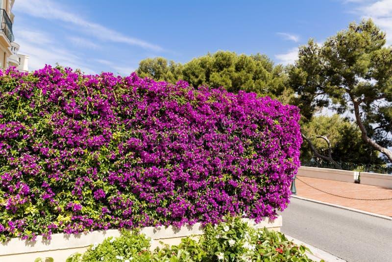 美丽的紫罗兰色九重葛 免版税库存图片