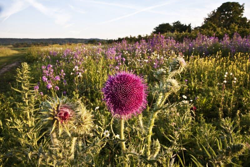 Download 美丽的紫罗兰色花 库存图片. 图片 包括有 泛音, 抽象, 草甸, 花卉, 印象主义者, 草本, 庭院, 场面 - 59101131