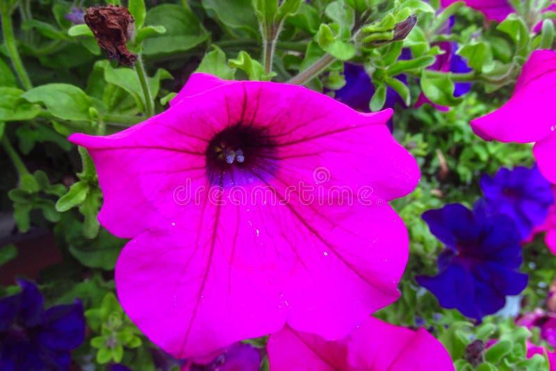 美丽的紫罗兰色花 图库摄影