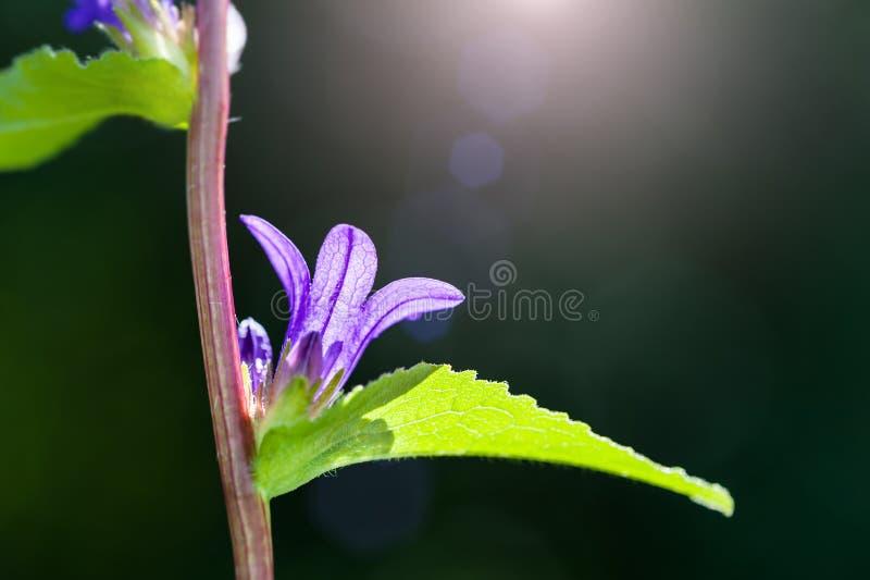 美丽的紫罗兰色风铃草在森林里 免版税库存照片