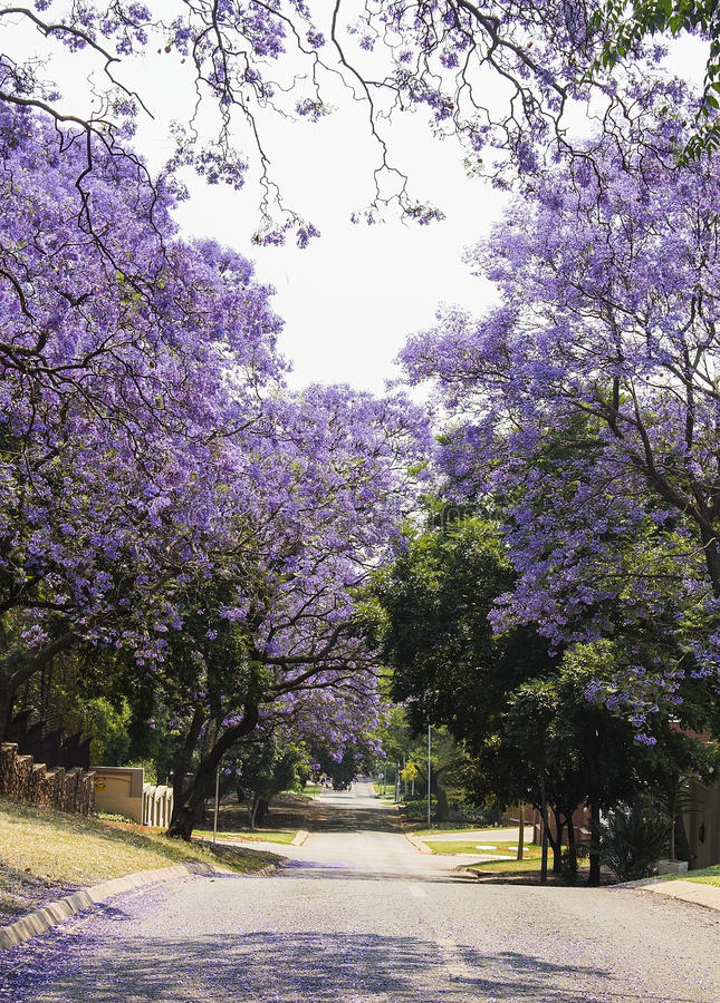 美丽的紫色充满活力的兰花楹属植物街道在绽放的 春天 免版税库存照片