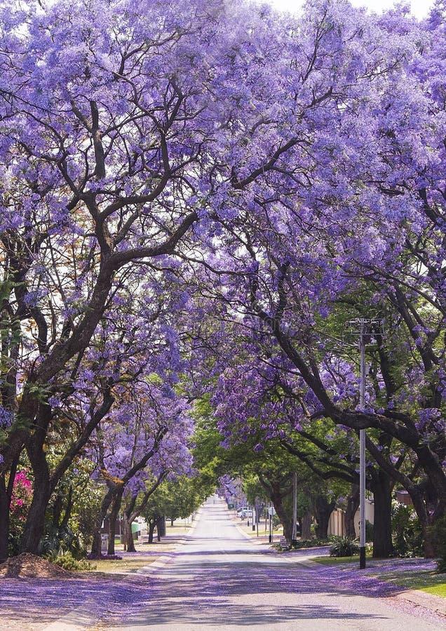美丽的紫色充满活力的兰花楹属植物街道在绽放的 春天 免版税库存图片