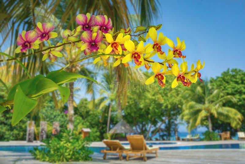 美丽的黄色兰花在热带庭院里开花在马尔代夫的海边 库存图片