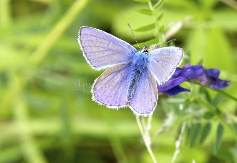 美丽的紫色和蓝色色的蝴蝶 免版税库存照片