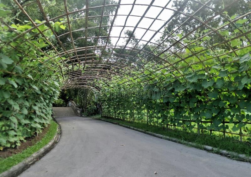 美丽的绿色攀缘茎类的豆隧道 免版税库存图片