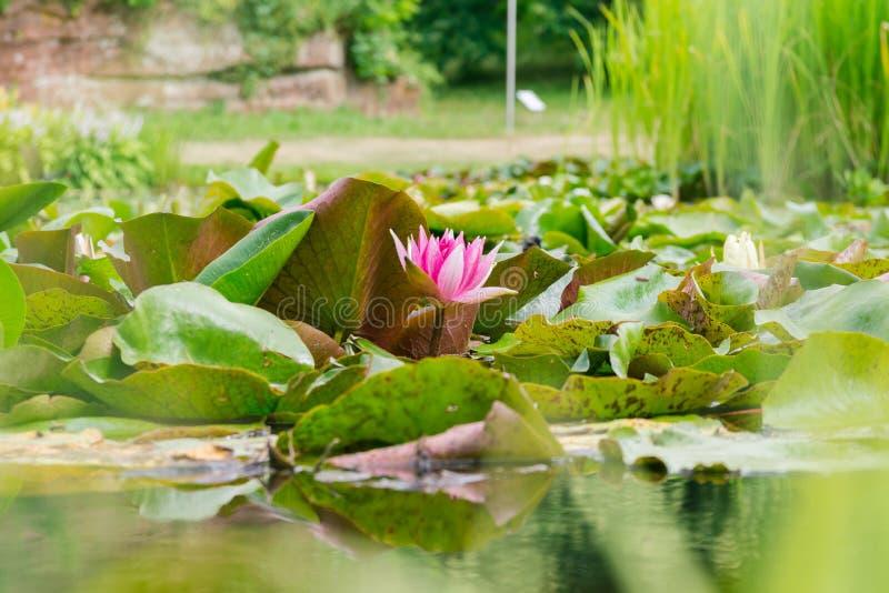 美丽的绿色桃红色睡莲叶花在室外公园池塘Natur 免版税库存照片