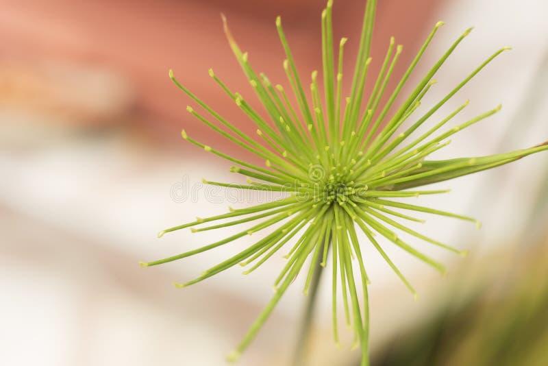 美丽的绿色纸莎草植物 免版税图库摄影