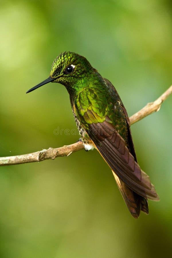 Download 美丽的绿色蜂鸟 库存图片. 图片 包括有 红色, 异乎寻常, 庭院, 五颜六色, 海岛, 飞行, anding - 59108905