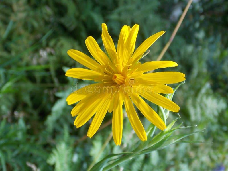 美丽的黄色野花 库存图片