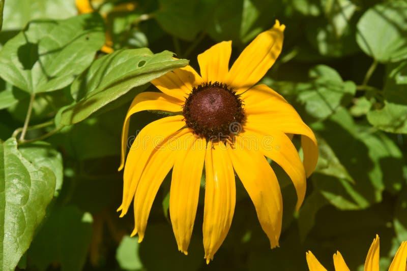 美丽的黄色黑眼睛的雏菊在春天 免版税库存照片