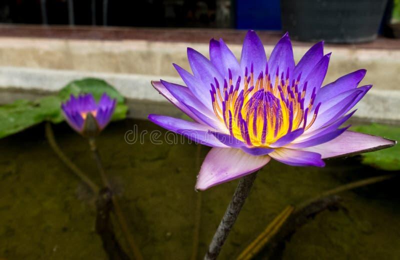 美丽的紫色黄色莲花在小池塘,作为模板使用的选择聚焦 免版税库存照片