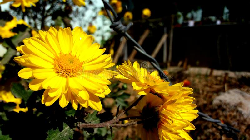 美丽的黄色mariegold花 库存照片
