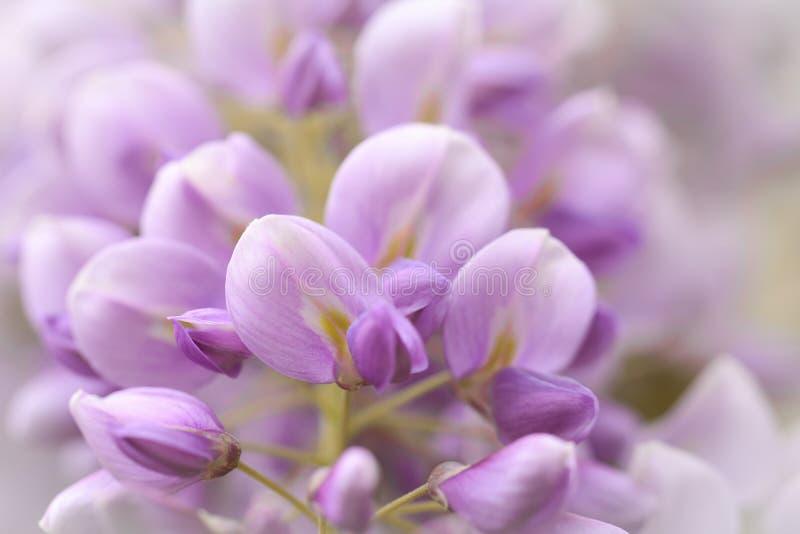 美丽的紫藤在选择聚焦 免版税库存图片