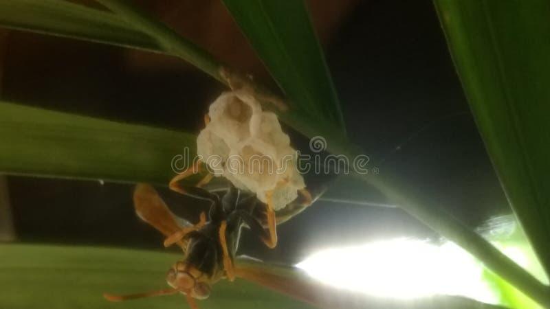 美丽的黄蜂 图库摄影