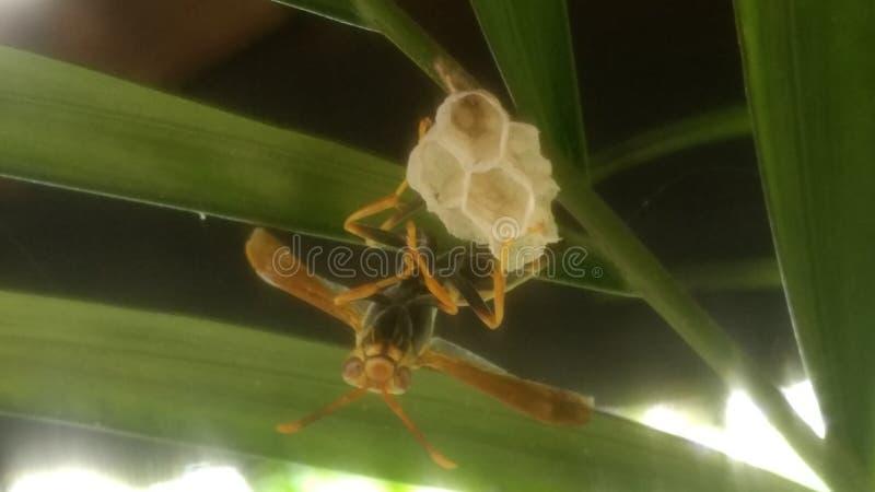 美丽的黄蜂 免版税库存图片