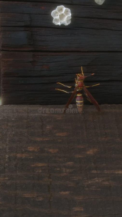 美丽的黄蜂 库存图片