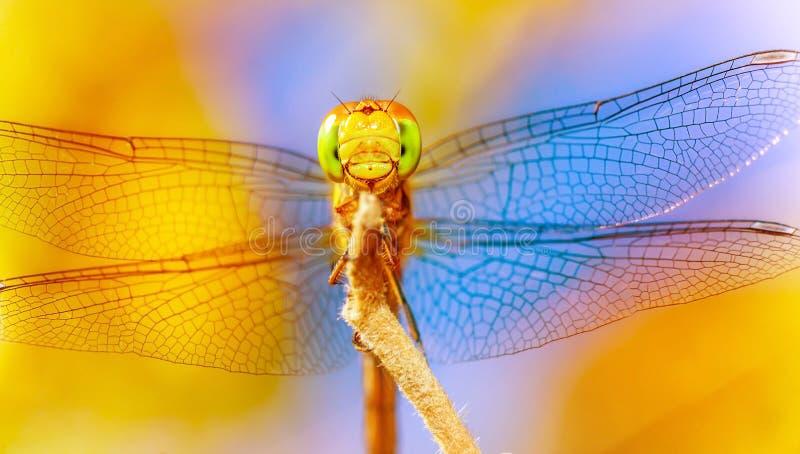 美丽的蜻蜓 库存图片
