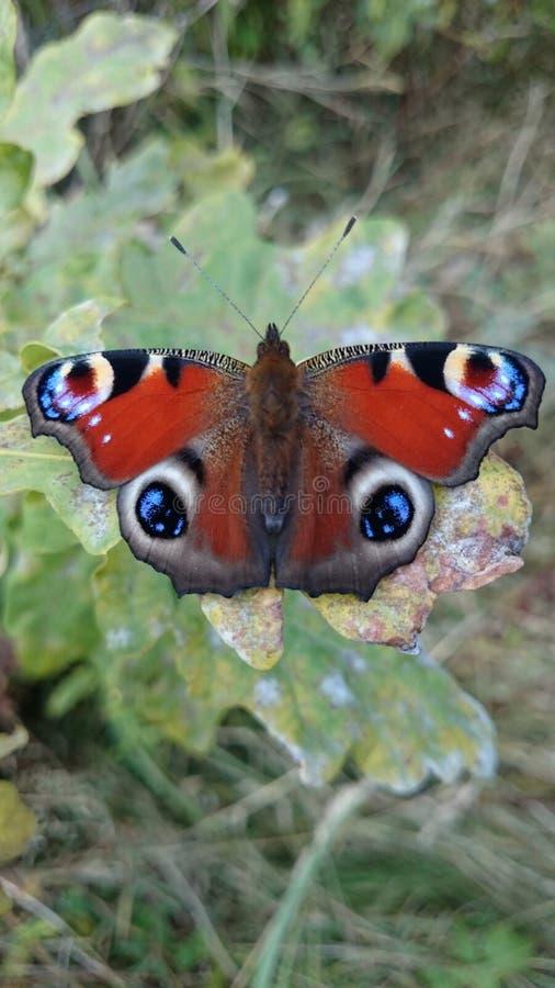 3美丽的蝴蝶孔雀眼睛 免版税库存照片