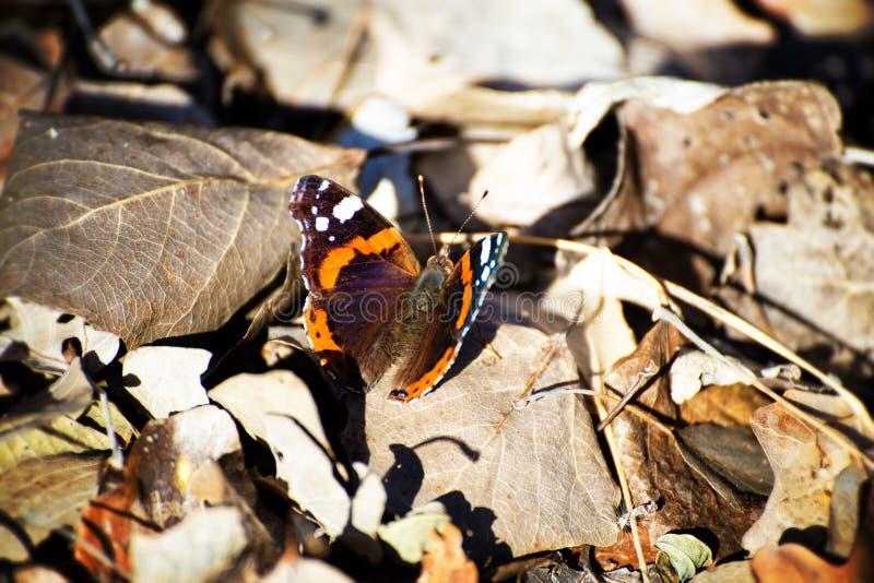 美丽的蝴蝶特写镜头与许多颜色的 库存图片