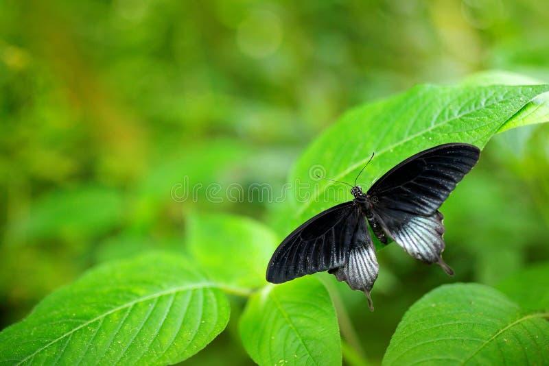 美丽的黑蝴蝶,了不起的摩门教徒, Papilio memnon,基于绿色分支 从自然的野生生物场面 植被水的海湾蓝色坎昆干净的结算关闭庭院绿色图象墨西哥海边 免版税库存图片