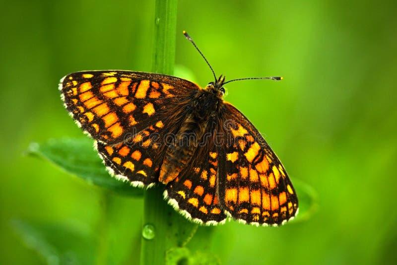 美丽的蝴蝶,荒地贝母, Melitaea athalia,坐绿色叶子,昆虫在自然栖所,在的春天 免版税库存照片