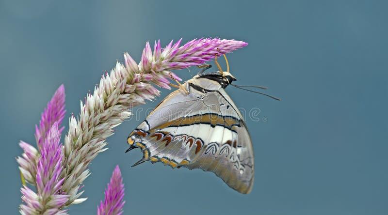 美丽的蝴蝶,蓝色Nawab, Polyura schreiber 免版税库存照片