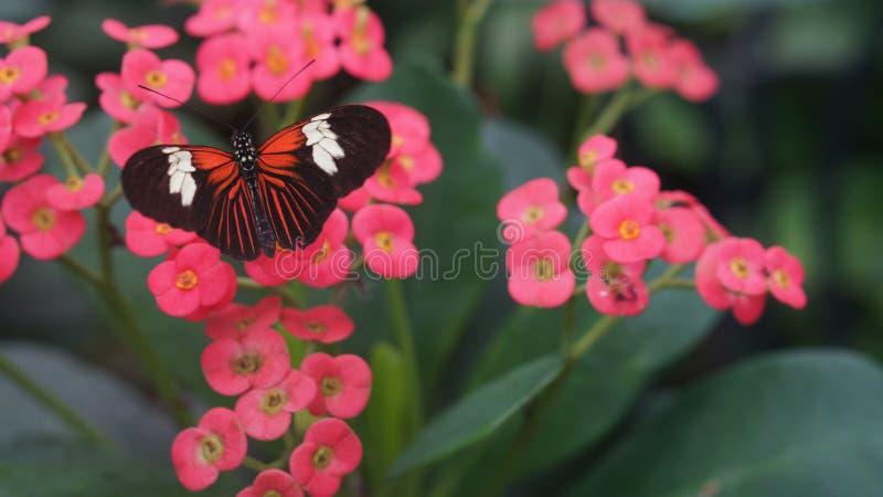 美丽的蝴蝶adoris Heliconius蝴蝶 免版税图库摄影