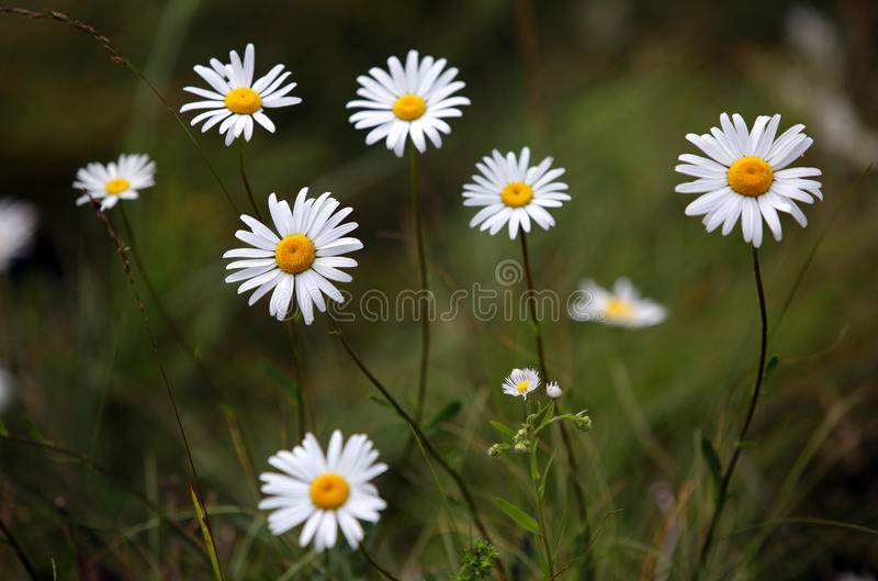 美丽的戴西特写镜头开花,室外 免版税库存照片