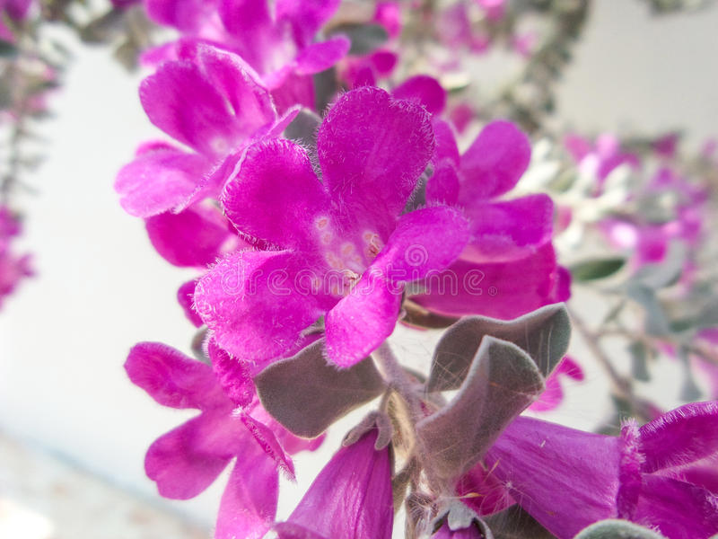 Download 美丽的晴雨表布什 库存照片. 图片 包括有 颜色, 男爵夫人, 说明性, 高雅, 叶子, 生态系, bossies - 72355468