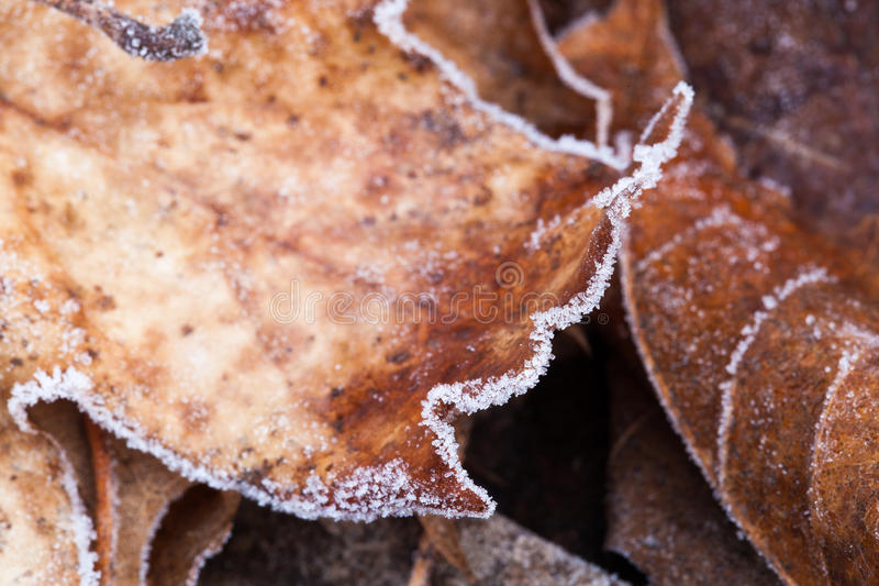 美丽的结霜的秋叶紧密  图库摄影