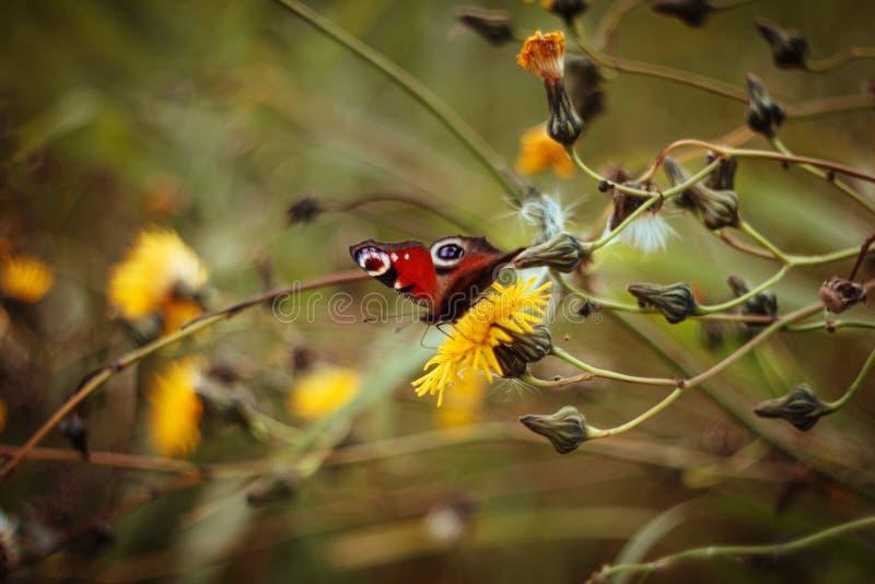 美丽的aglais io蝴蝶,在黄色花的孔雀铗蝶 在领域的蝴蝶在绿色黄色被弄脏的背景 库存照片