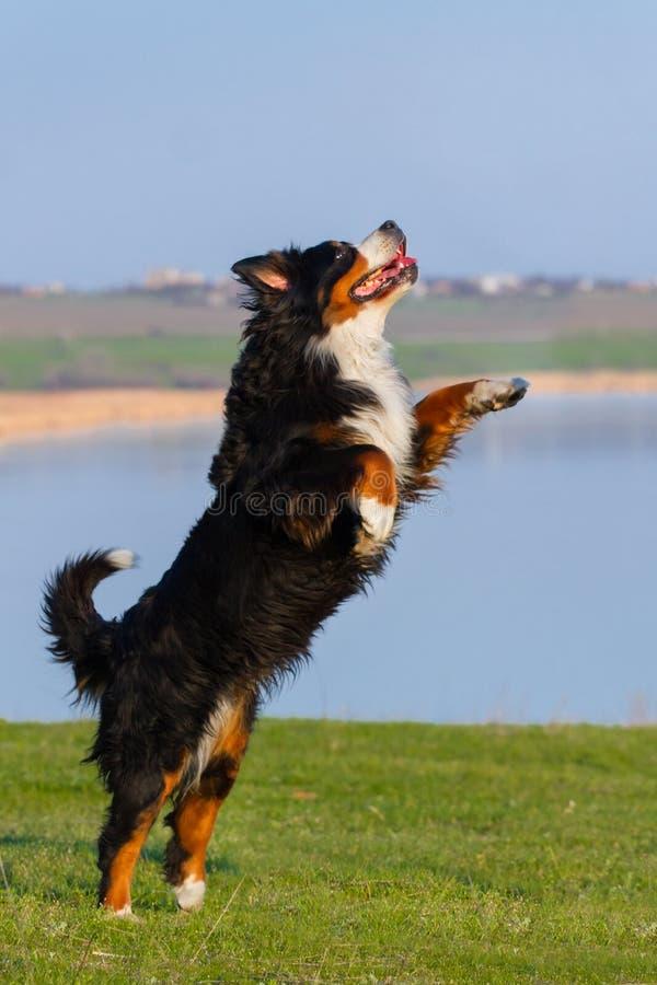美丽的bernese狗跳反对蓝色河在草甸 免版税库存照片