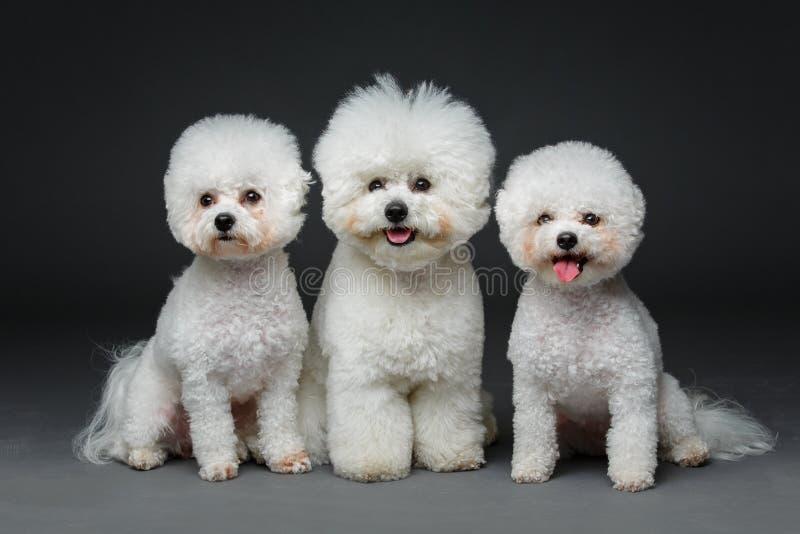 美丽的bichon frisee狗 免版税库存照片