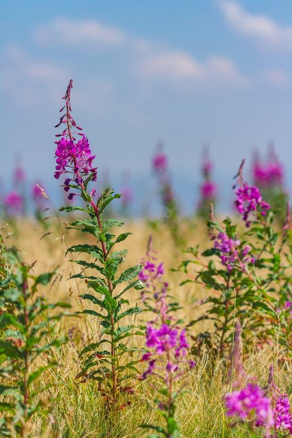 美丽的Chamerion angustifolium在山开花夏日 免版税库存图片