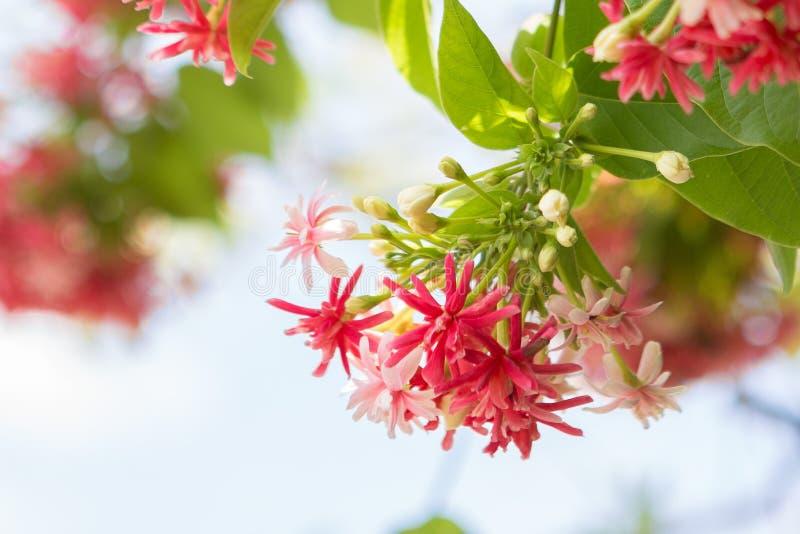美丽的Combretum indicum 库存图片