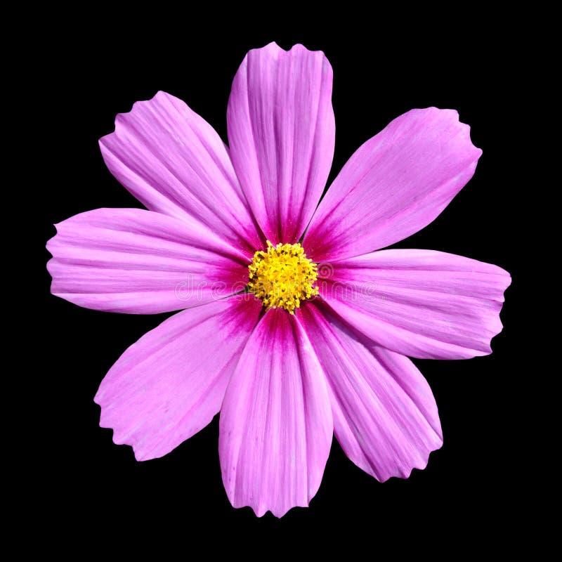 美丽的cosmea波斯菊花查出的粉红色上升 库存图片