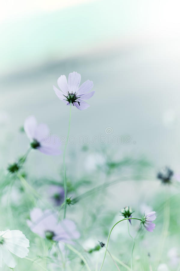 美丽的defocus迷离招标柔和的淡色彩花 库存照片
