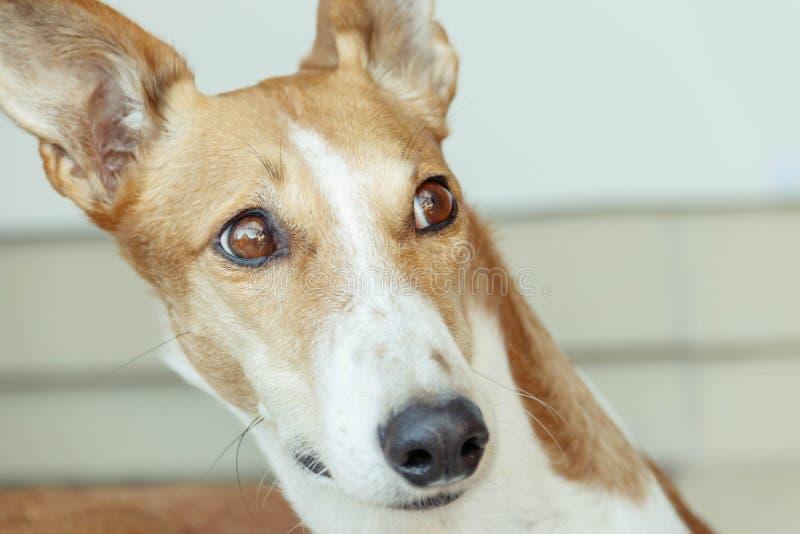 美丽的galgo podenco混合狗 库存照片