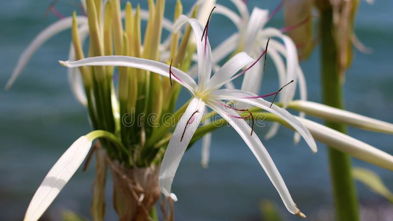 美丽的lilly hymenocallis speciosa白色蜘蛛,在水附近的独特的花在佛罗里达 免版税库存照片