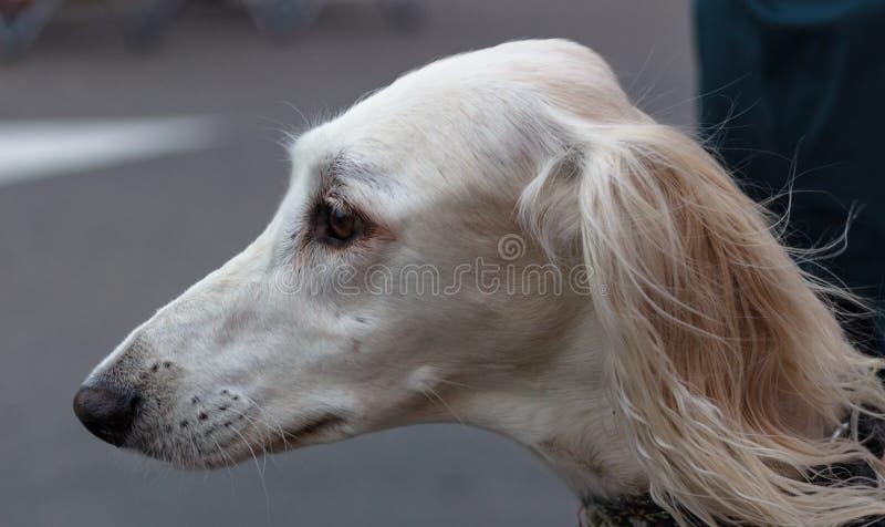 美丽的Saluki,自然地保持平衡的sighthound 免版税库存图片