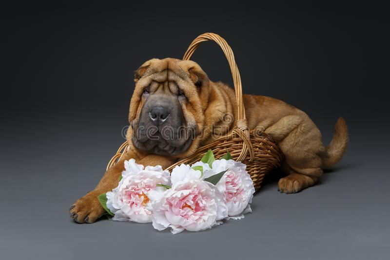 美丽的shar pei小狗 库存图片