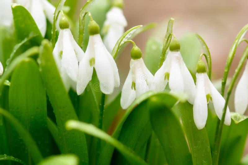 美丽的snowdrop花 库存图片
