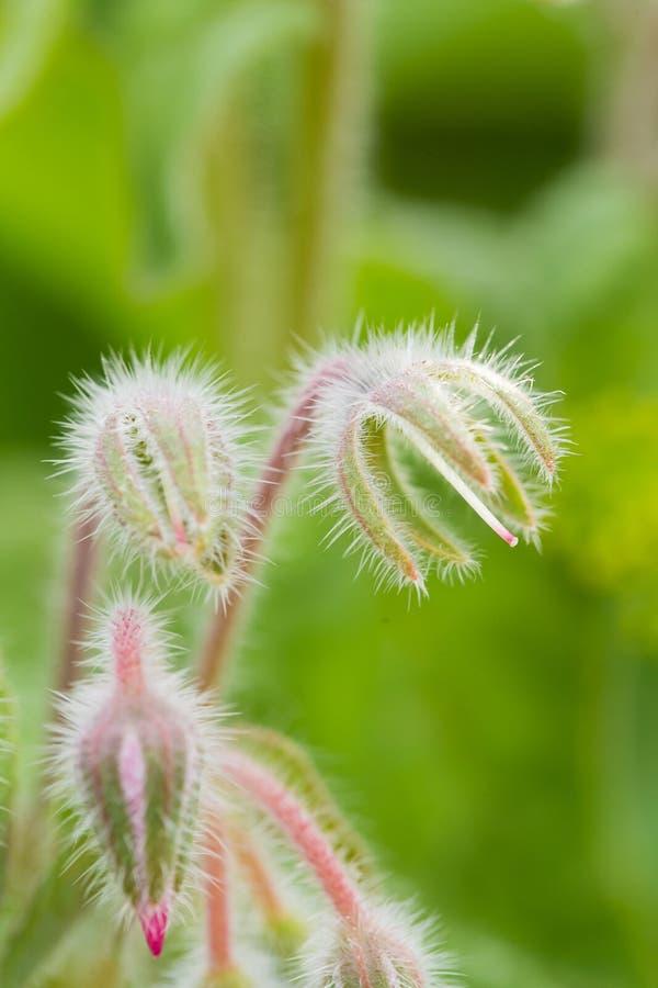美丽的starflower芽和花在晚上太阳 图库摄影