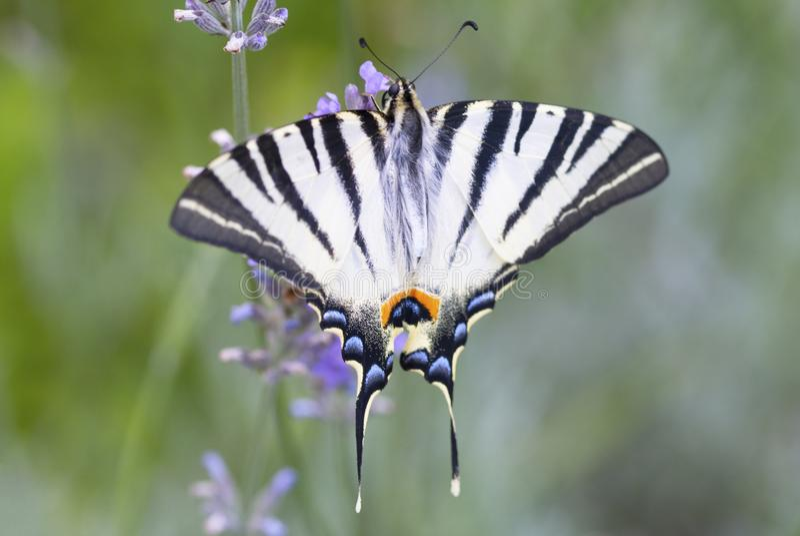 美丽的Swallowtail蝴蝶坐淡紫色花 免版税库存照片