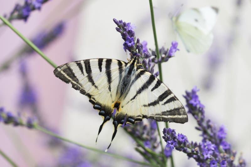 美丽的Swallowtail蝴蝶坐淡紫色花 库存图片