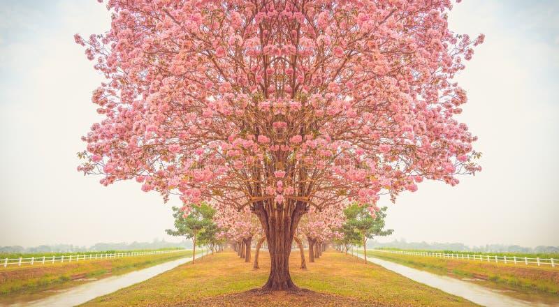 美丽的Tabebuia rosea树,开花在庭院里的桃红色花 免版税库存照片