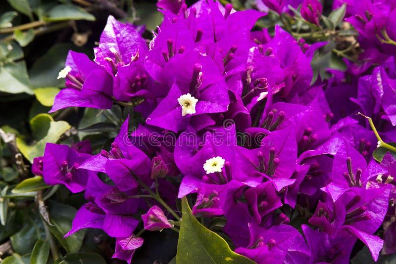 美丽紫色,桃红色和九重葛植物的黄色花叶子背景的  常青卷曲灌木 免版税库存照片