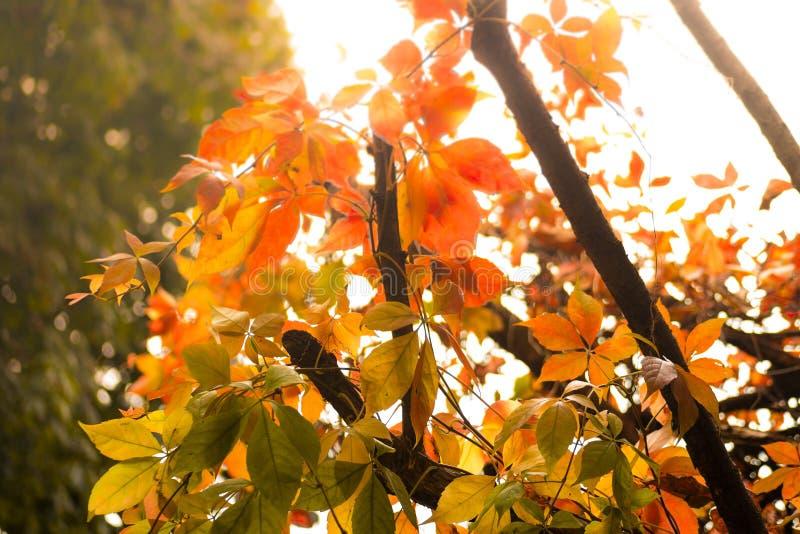 美丽红色,桔子和陆军少校的肩章在一棵树在秋天 免版税库存照片